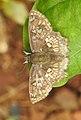Golden Angle Golden Angle Caprona ransonnettii potiphera WSF Male by Dr. Raju Kasambe DSCN1840 (1).jpg