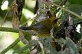 Golden Babbler Stachyridopsis chrysaea by Dr. Raju Kasambe DSC 2547 (3).jpg