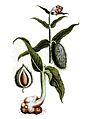 Gomphocarpus cancellatus00.jpg