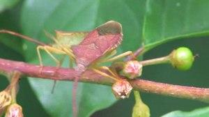 File:Gonocerus acuteangulatus.ogv