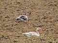 Grågås Greylag Goose (15765750091).jpg