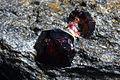 Granat, almandyn - Bella Vista Mine, Mitkof Island, Wrangell-Petersburg borough, Alaska, USA..jpg