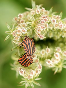 Graphosoma lineatum (couple).jpg