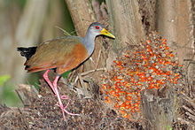 A grey-necked wood rail on the left side, looking at the camera.