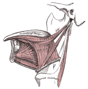 Lateral view of the tongue, with extrinsic muscles highlighted.