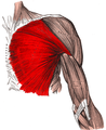 Gray410 pectoralis major.png