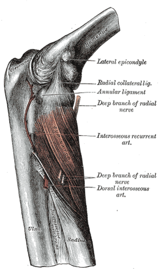 Supinator muscle - Posterior view of the supinator. (Right arm.)