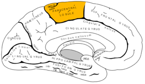 Gray727 paracentral gyrus.png