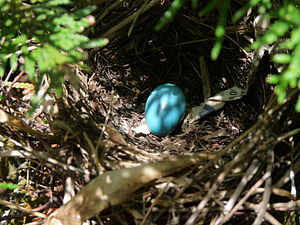 Gray catbird - Nest and egg in a cedar shrub four feet above the ground