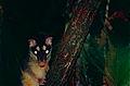 Gray Four-eyed Opossum (Philander opossum) (10382003914).jpg