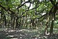Great Banyan Tree - Indian Botanic Garden - Howrah 2012-09-20 0060.JPG