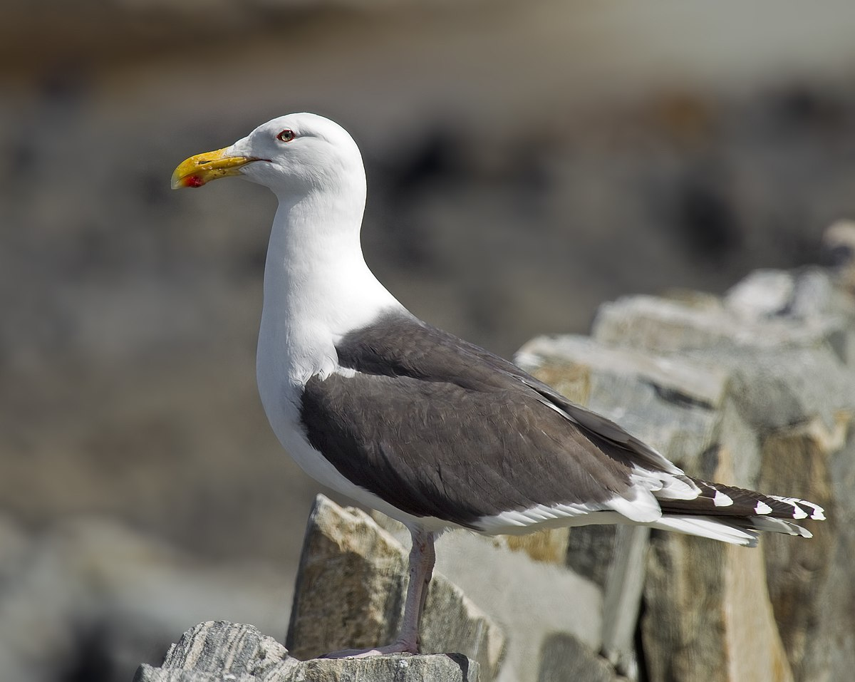 Great black-backed gull - Wikipedia