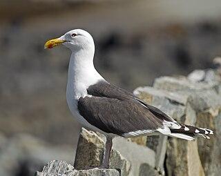 Great black-backed gull Species of bird