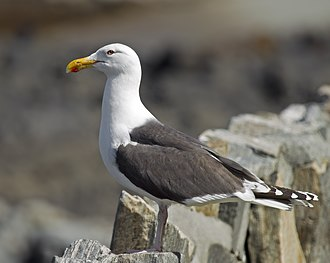 Great black-backed gull - Image: Great Black backed Gull Larus marinus