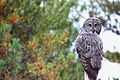 Great Gray Owl (Strix nebulosa) (6182442647).jpg