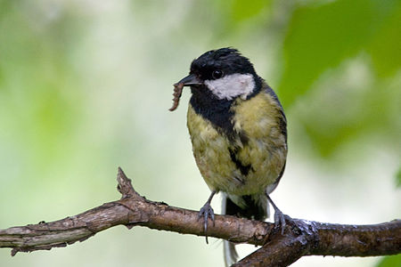 Great Tit Lodz(Poland)(js)21.jpg