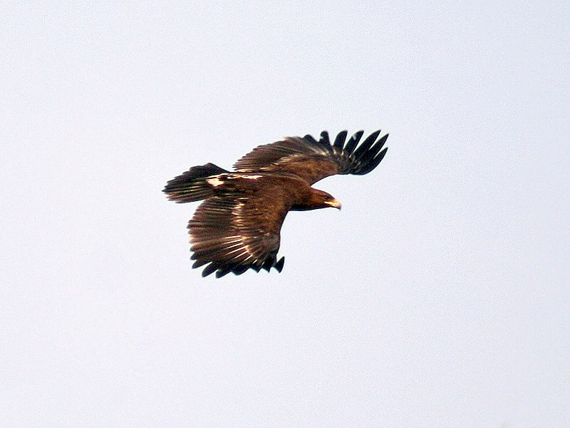 Great spotted Eagle I IMG 8362