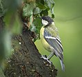 Great tit (28910507664).jpg