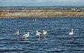 Greater Flamingos, Lido de Thau, Sète 11.jpg