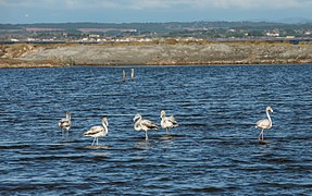 Greater Flamingos, Lido de Thau, Sète 11.jpg