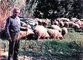 Greek Shepherd in the field - May 1985.jpg