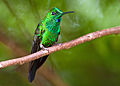 Green-crowned Brilliant 1.jpg