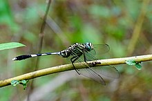 Green Marsh Hawk 02945.JPG