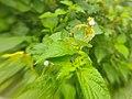 Green grasshopper1.jpg