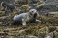 Grey Seal - Farne Is - FJ0A6734 (35938100940).jpg