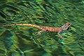 Ground agama (Agama aculeata) in water.jpg