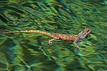 Ground agama (Agama aculeata) in water.jpg