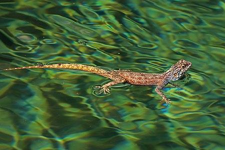 Ground agama (Agama aculeata) in water