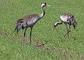 Grus grus 07(js), Biebrza National Park (Poland).jpg