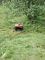 Gulo gulo-Wolverine-Polar Zoo Norway.jpg