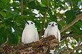 Gygis alba -Seychelles -two-8.jpg
