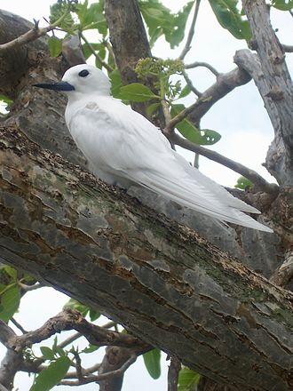 White tern - Image: Gygis alba 01