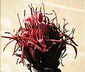 GymeaLily UNSW Flowers.jpg