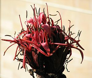 Doryanthes excelsa - Image: Gymea Lily UNSW Flowers