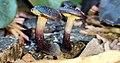 Gymnopilus purpuratus in New Zealand.jpg