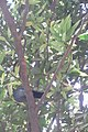 HK CWB 高士威道 Causeway Bay Road 維多利亞公園 Victoria Park tree Sept 2017 IX1 蒲桃 Syzygium jambos 02.jpg
