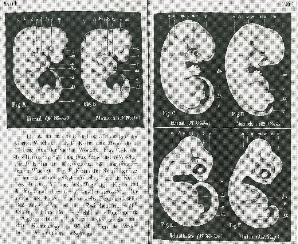 Haeckel-embryos-weeks4-6