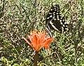 Haemanthus coccineus ^ Citrus Swallowtail (Papilio demodocus)-1 - Flickr - Ragnhild & Neil Crawford.jpg