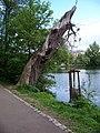 Hamerský rybník, pahýl stromu.jpg