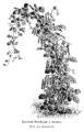 Haricot Prédome à rames Vilmorin-Andrieux 1904.png