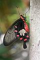 Harryalverson - Unidentified Cambodian Butterfly (by-sa).jpg