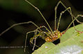 Harvestman from Ecuador (15342707486).jpg
