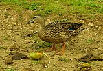 Hawaiian Duck Eating a Mango at Moanalua Gardens - panoramio.jpg