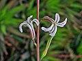 Haworthia attenuata hybrids - Karsruhe 2.jpg