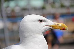 Head of seagull on Granville Island.jpg