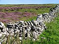 Heather in bloom - geograph.org.uk - 40747.jpg